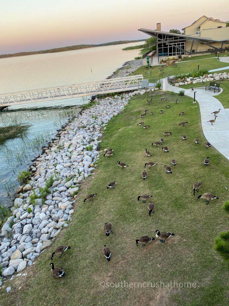 geese outside at lake murray lodge